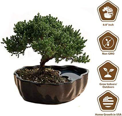 Amazon Com Zen Reflections Juniper Bonsai Grocery Gourmet Food Juniper Bonsai Bonsai Bonsai Tree Care