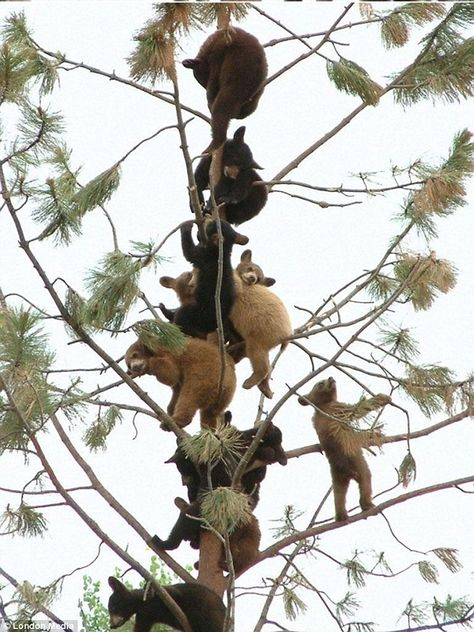 An astonishing gathering of young bear cubs sit precariously in a thin and fragile-looking tree