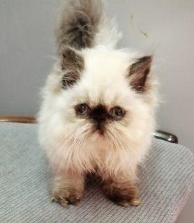 قطط للبيع في أبو ظبي قطط هيمالايا للبيع شوكلت أنثى عمرها شهرين ونص بيكي فيس عيونها زرقاء ولعوبه ومتدربة على الأكل والشراب وع الليتر بوكس Cats Animals