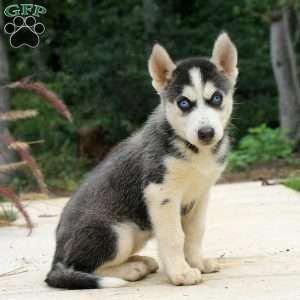 Siberian Husky Puppy In Airville Pa Huskypuppy Husky Puppies