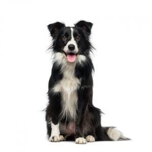 Todas Las Razas De Perros Nombres Fotos Y Características Página 2 Razas De Perros Perros Border Collie Collie