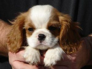 Cavalier King Charles Spaniel Graceful And Affectionate Cavalier King Charles Dog King Charles Cavalier Spaniel Puppy King Charles Dog