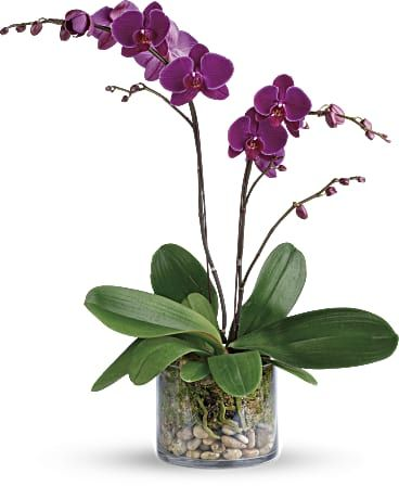 Glorious Gratitude Orchid Plant Orchids Orchid Plants Birthday Flower Delivery