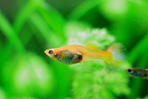 How To Care For Baby Guppies Guppy Fish Aquarium Fish Guppy
