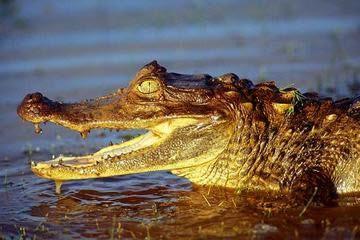13 Animais Do Pantanal Brasileiro Fotos Quais Sao E Extincao
