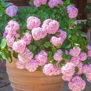 Spring Hill Nurseries Pee Gee Hydrangea Tree Live Bare Root Plant With White Flowering Tree Form Shrub 1 Pack 62425 The Home Depot Pink Hydrangea Hydrangea Bridal Bouquet Big Leaf Hydrangea