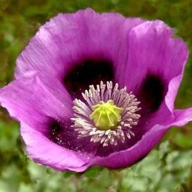Poppy Seeds Laurens Grape Papaver Somniferum With Images Poppy Flower Seeds