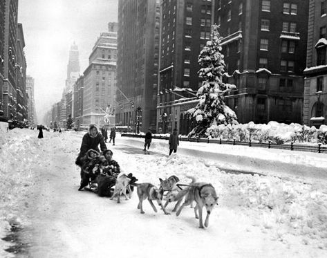 Rather than brave public transportation on an icy day in New York City, a family heads down Park Avenue via dog sled during the winter of 1947.