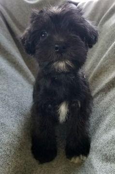 Schnoodle Miniature Puppy For Sale In Chesapeake Va Adn 69326