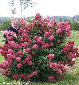 Fire Light Hydrangea Paniculata Flowering Shrub Available At