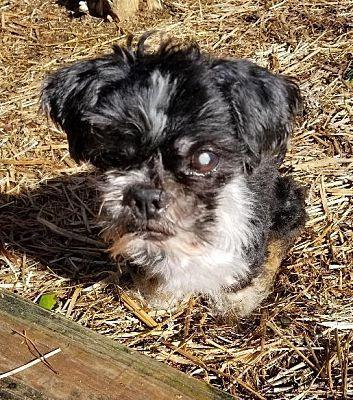 Marietta Ga Shih Tzu Meet Jason A Pet For Adoption In 2020 Pet Adoption Shih Tzu Pets