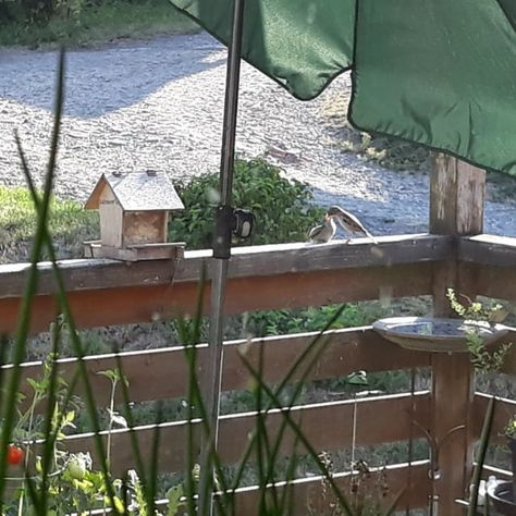 Frühstück auf dem Balkon. 🐦 #balkon #balkongärtnern #balcony #balconygarden #vögel #birds #earlybird #landleben #landkind #spatz #vogelbaby #vogelfutter #ganzjahresfutterplatz #vogelbeobachtung #natur #nature #familienfrühstück #thismorning #heutefrüh #schautmal #happy