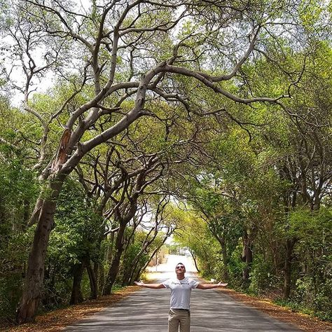 Tunel de arboles caribeños Naturaleza pura . . . #trees #tunel #instsgram #boy #energy #tbt  Tunel de arboles caribeños Naturaleza pura . . . #trees #tunel #instsgram #boy #energy #tbt #islands #bosque #instalike #chile