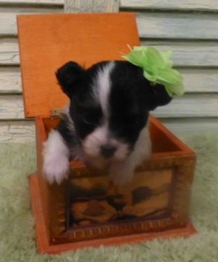 Chihuahua Chions Black And White Long Hair Female Puppies See