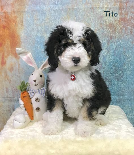 Tito Is An F1 Micro Minitiny Tri Color Bernedoodle See