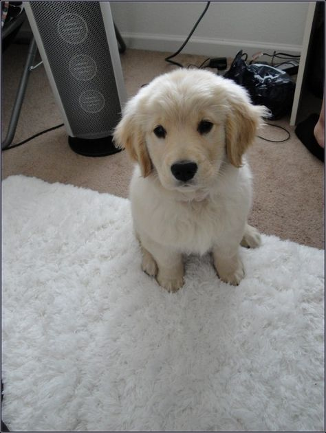 Free Golden Retriever Puppies Alabama Find Cute White Puppy