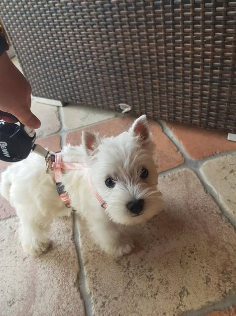 She is Fluffy - my new baby! ///// What a little sweetheart omg! Westies, Westie Puppies, Baby Puppies, Baby Dogs, Cute Puppies, Cute Dogs, Chihuahua Dogs, Doggies, Cute Little Animals