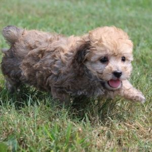 Muffin Poodle Puppy Puppies Puppy Facts Poodle Puppies For Sale