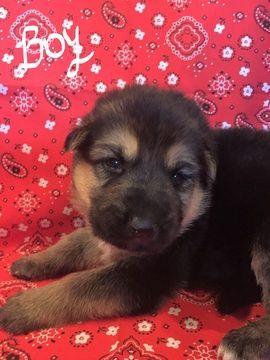 Litter Of 7 German Shepherd Dog Puppies For Sale In Mustang Ok