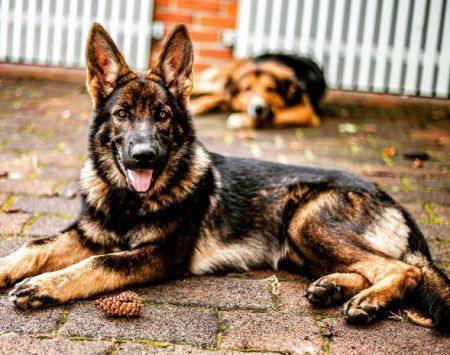 Fall In German Shepherd Love With These Great Pictures This Cool