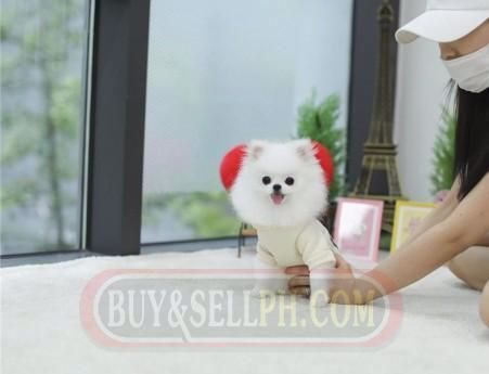 Healthy Teacup Pomeranian Puppies For Sale Philippines Pinterest Philippines Chihuahu In 2020 Pomeranian Puppy For Sale Chihuahua For Sale Chihuahua Puppies For Sale