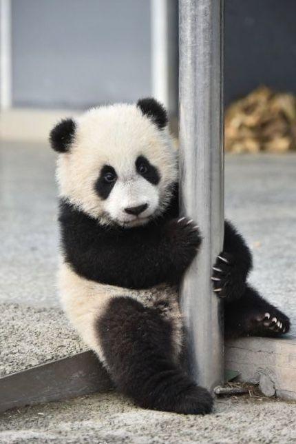 Pin Van Emma Op Og Bear Reuzenpanda Panda S Panda