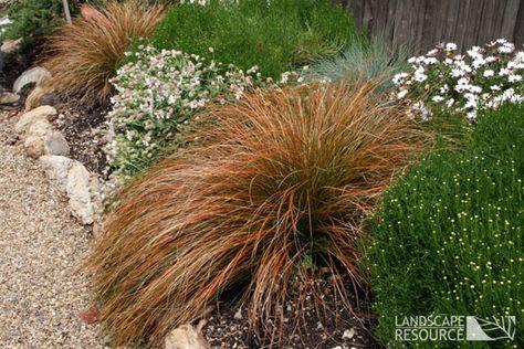 Carex testacea Orange Sedge Barber Pinterest Grasses, Plants - carex bronze reflection
