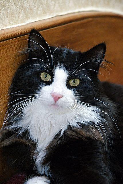 Tuxedo Black And White Maine Coon Cat : tuxedo, black, white, maine, Tuxedo, Black, White, Looks, Wearing,, Suggests,, Tuxedo., Tuxie's, Coa…, Beautiful, Cats,