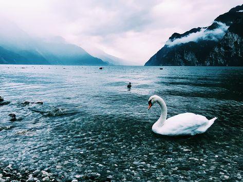 veneto swans 💙🌊#lagoDiGarda . . . ....