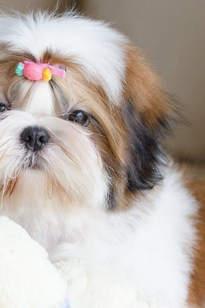 How To Crate Train A Shih Tzu Puppy At Night Training Your Puppy