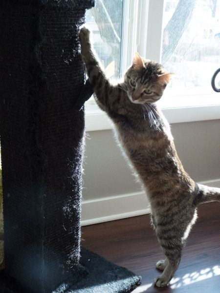 How To Keep Your Cat From Destructive Scratching Cats Cat Behavior Pet Safety