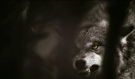 Pin By Theresa Warnock Shoenberger On Wolves Wolf Wallpaper