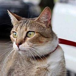 Richmond Va Calico Meet Desiree A Cat For Adoption Cat Adoption Pet Adoption Pets