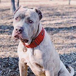 Dallas Texas Cane Corso Meet River A For Adoption Https Www Adoptapet Com Pet 21220190 Dallas Texas Cane Corso Dog Adoption Cane Corso Pets