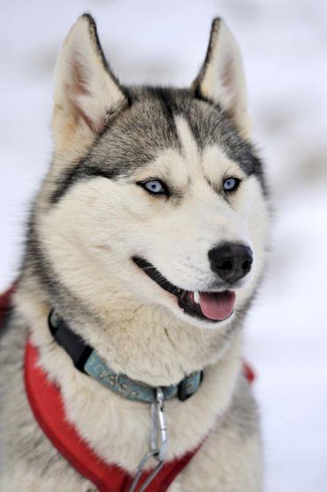 Strengths Weaknesses Of The Siberian Husky Husky Dogs