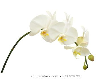 Similar Images Stock Photos Vectors Of White Orchid Isolated On White Background 426326476 Shutterstock In 2020 White Orchids Phalaenopsis Orchid Orchids