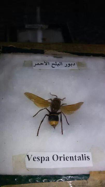 دبور البلح الاحمر Insects Places To Visit Visiting