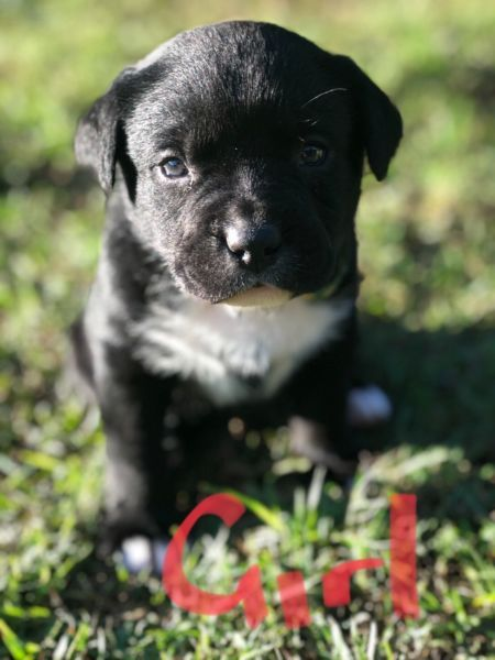 Adorable Labrador X Kelpie Puppies Pitbull Puppies Dogs And