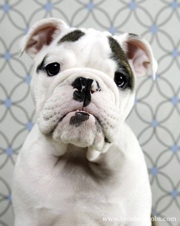 Dogs Bulldogs Black And White I Love This Type Of Dog Not Sure
