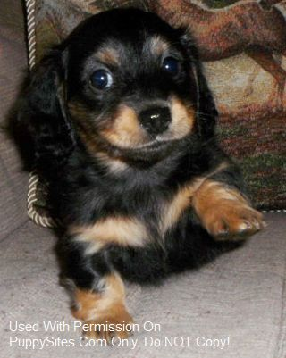 Delightful Dachshunds Dachshund Dog Pet Dogs Puppies Dachshund