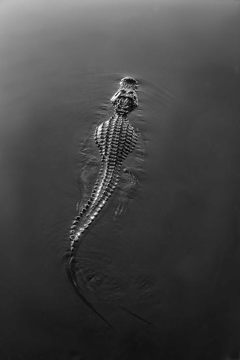 Alligator in the Everglades bySterling Lanier