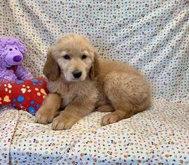 Latest Puppies For Sale Long Island Ny Canine Corral Puppies For Sale Puppies Cute Dogs