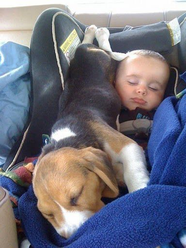 Beagle And Baby Asleep In Car Seat Cute Beagles Baby Beagle