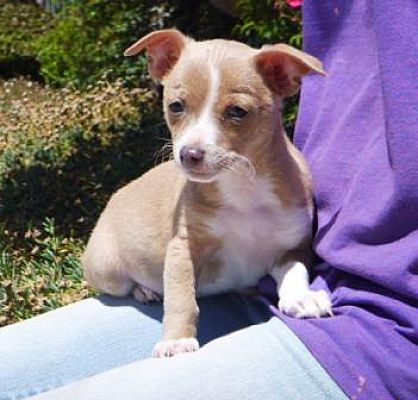 Lathrop Ca Chihuahua Meet Dobby A Dog For Adoption Animals