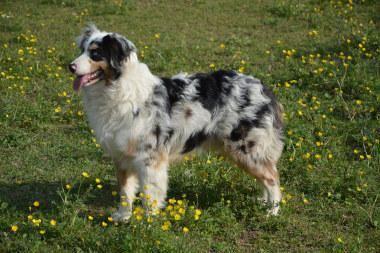 Australian Shepherd Charakter Haltung Pflege Mit Bildern Australischer Schaferhund Australische Schaferhunde Hunde