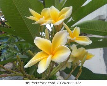 Bunga Kamboja Bermekaran Di Pekarangan Rumah Frangipani Flowers Bloom