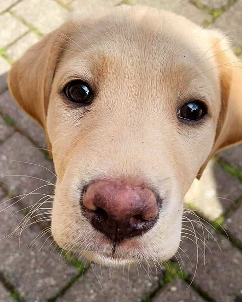 Super Cute Puppies, Cute Dogs, Dressage, Yellow Lab Puppies, Chocolate Labrador Retriever, Happy Dogs, Dog Pictures, Dogs And Puppies, Doggies