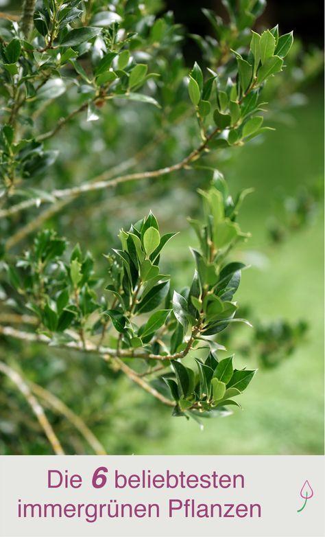 6 Beliebte Immergrune Pflanzen Fur Den Garten Immergrune Straucher Immergrune Pflanzen Straucher Garten