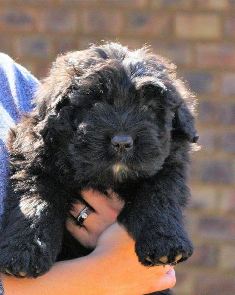 Are Bouvier Dogs Aggressive With Images Dogs Shih Tzu Funny