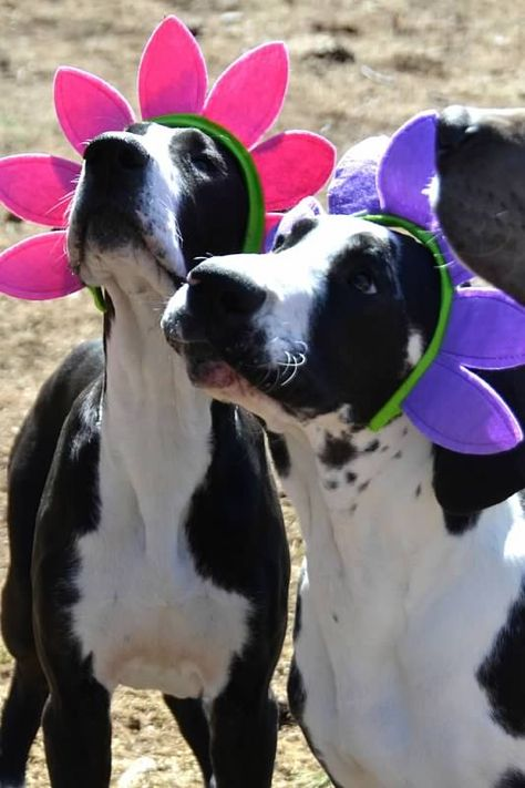Service Dog Project Photos Videos Great Danes Sdp Explore Org